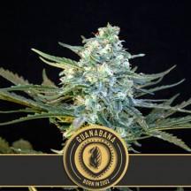 Mamba Negra Auto CBD (Blimburn Seeds)
