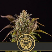 Grizzly Purple Kush (Blimburn Seeds)