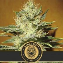 Mamba Negra CBD (Blimburn Seeds)