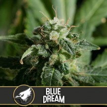 Blue Dream (Blimburn Seeds)
