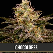 Chocolópez (Blimburn Seeds)