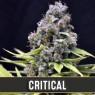 Critical Auto (Blimburn Seeds)