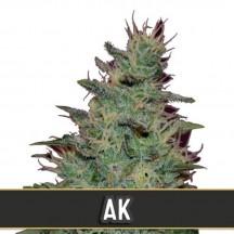 AK Auto (Blimburn Seeds)