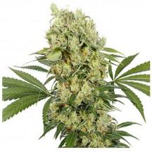 Medikit (Buddha Seeds)