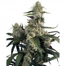 Kraken (Buddha Seeds)