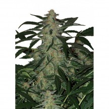 Magnum Auto Regular (Buddha Seeds)