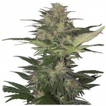 Red Dwarf Auto Regular (Buddha Seeds)