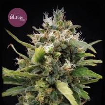La Rica Clásica THC (Elite Seeds)