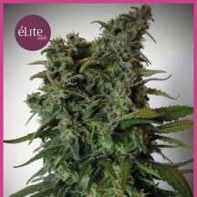 Élite 47 (Elite Seeds)