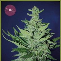 Goliat Auto (Elite Seeds)