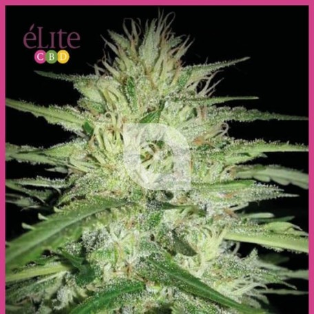 Juanita la lagrimosa (Elite Seeds)