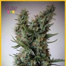Jack Ultra CBD (Elite Seeds)