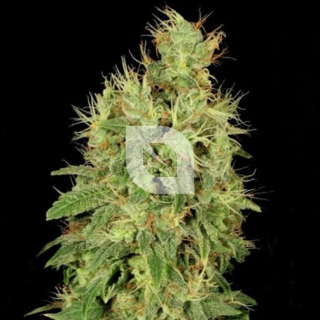 Chronic CBD (Serious Seeds)