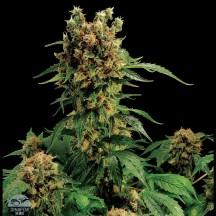 California Hash Plant (Dinafem)