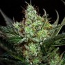 Rittus Haze (Absolute Cannabis Seeds)