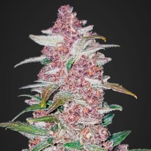 Blackberry Auto (Fast Buds)