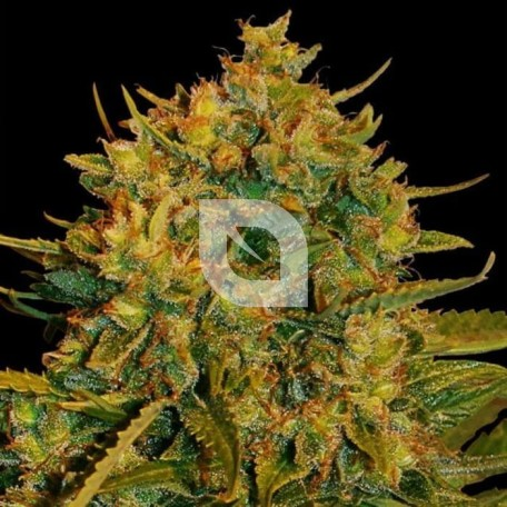 Northern Light X Big Bud Ryder (World of Seeds)