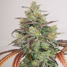 Y Griega CBD 2.0 (Medical Seeds)