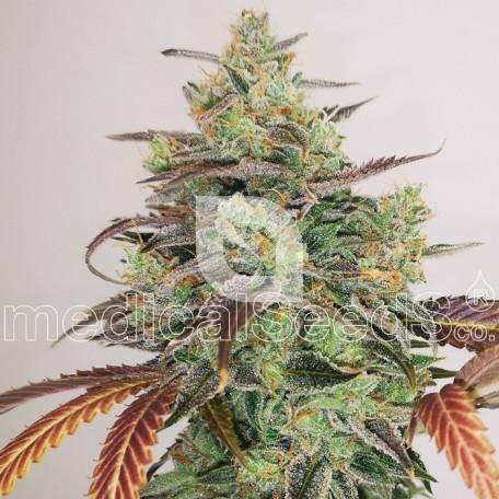 Y Griega CBD 2.0 (Medical Seeds)
