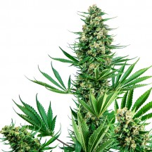 Sensi 741 Feminizada (Sensi Seeds Research)