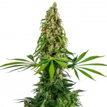 Sensi 140 Feminizada (Sensi Seeds Research)