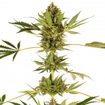 Sensi 49 CBD (Sensi Seeds Research)