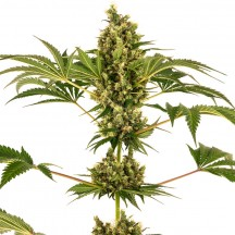 Sensi 34 Auto CBD (Sensi Seeds Research)