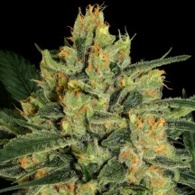 Durga Mata II CBD (Paradise Seeds)
