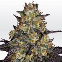 El Dorado OG (Paradise Seeds)