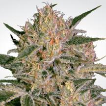 Nebula II CBD (Paradise Seeds)
