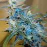 Sugarloaf feminizada (Cannabiogen)