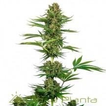 Sensi 743 CBD (Sensi Seeds Research)