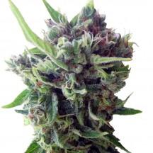 Auto Zamaldelica Feminizada (Ace Seeds)