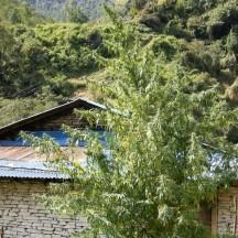 Nepal Annapurna Regular (Ace Seeds)