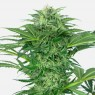 Skunk Dream CBD (Sensi Seeds Research)