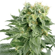 Double Gum (Sensi Seeds Research)