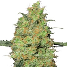 Master Kush (Sensi Seeds Research)