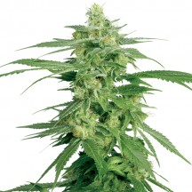 Holland's Hope (Sensi Seeds Research)