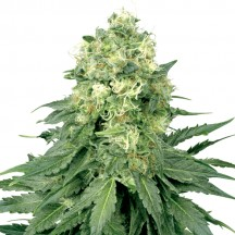 White Widow (Sensi Seeds Research)