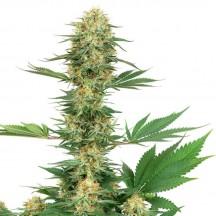 Gelato 420 (White Label)