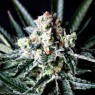 Amazing Auto (Absolute Cannabis Seeds)