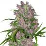 Purple Bud (White Label)
