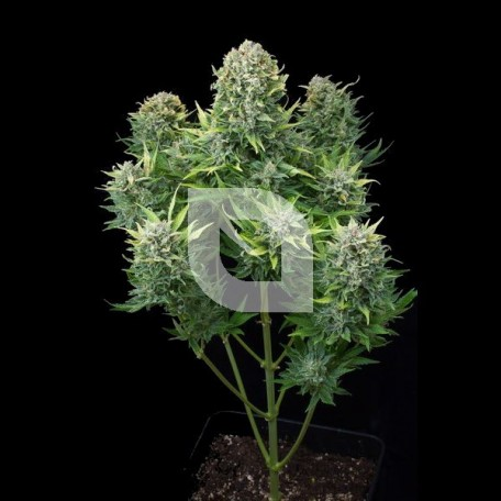 White Cheese Auto (Dinafem)