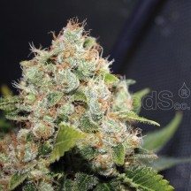 BCN Sour Diesel (Medical Seeds)
