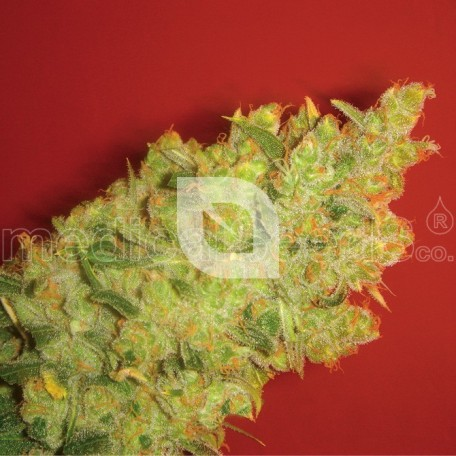 Jack La Mota (Medical Seeds)