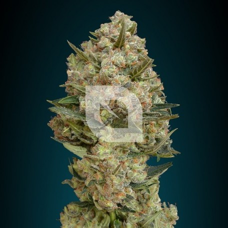Critical (Advanced Seeds)