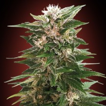 Kaya 47 (Advanced Seeds)