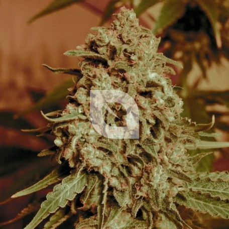 Somango Widow (Advanced Seeds)