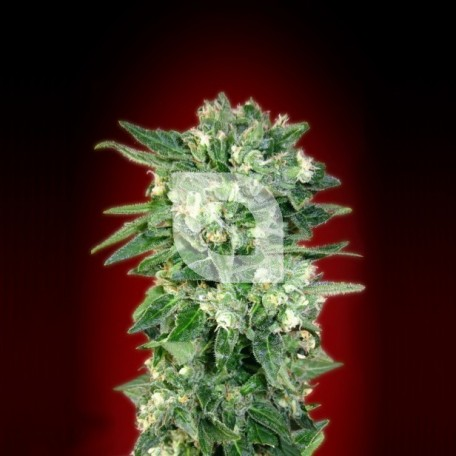 Auto Kaya 47 (Advanced Seeds)