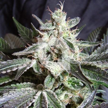 Black Jack (Sweet Seeds)